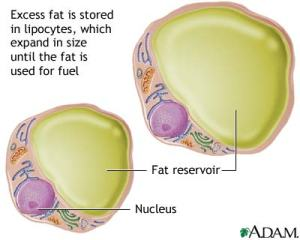 lipocytes-fat-cells